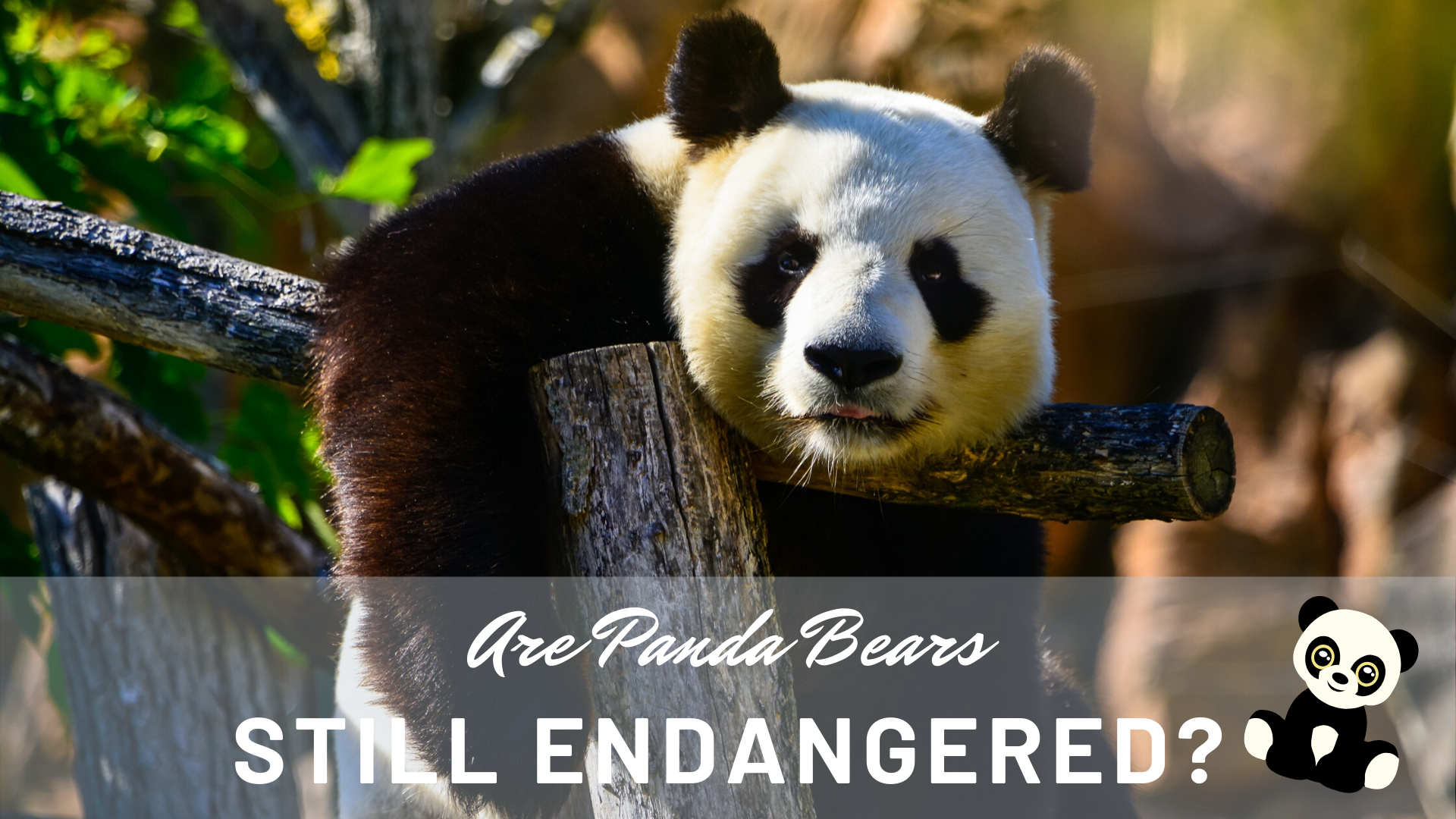 Why Are Pandas Still Endangered? | Science Trends
