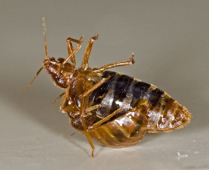 Do Bed Bugs Fly Jump And Itch Science Trends