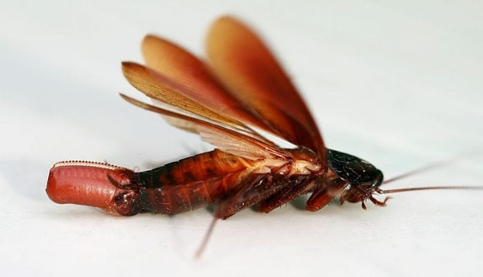 A cockroach laying an eggg capsule. Photo: Toby Hudson via Wikimedia Commons, CC 3.0