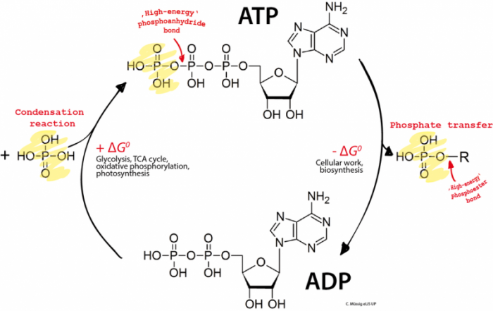 What Is Atp Adenosine Triphosphate Science Trends