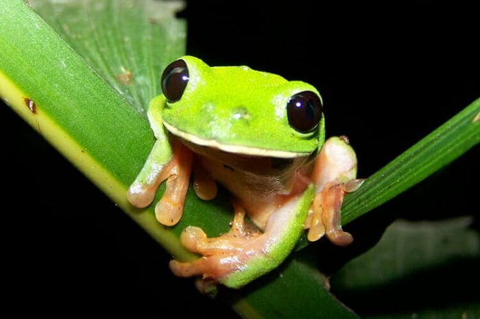 Morelet's tree frog (Credit: Wikipedia)