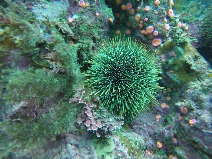 Female Sea Urchin (Credit: Andrea Glockner-Fagetti)
