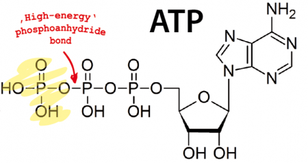 glycolysis end energy source wikipedia produced were molecules atp beginning