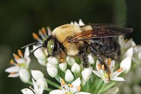 Carpenter bee. Image source: Wikimedia Commons.