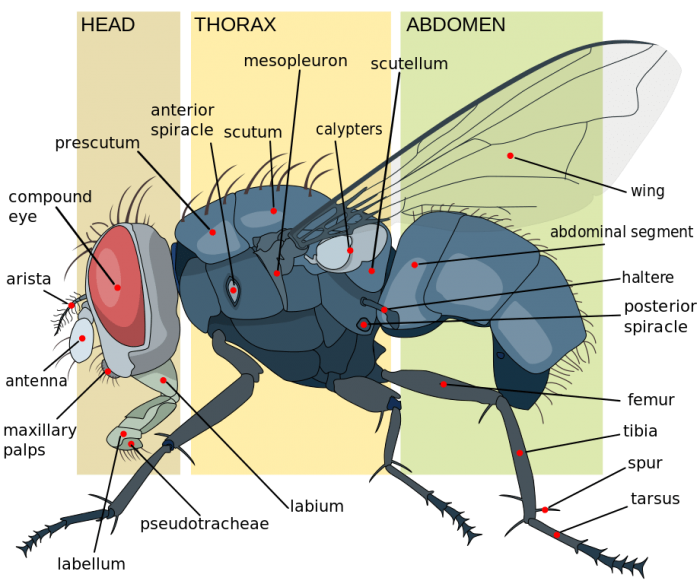 what is the lifespan of a fly? science trendsa diagram showing the anatomy of a housefly source wikicommons