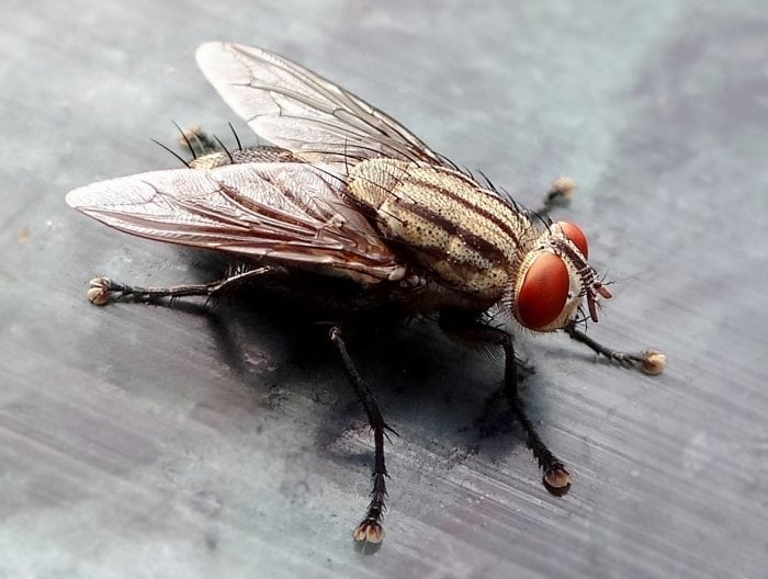 What Is The Lifespan Of A Fly? | Science Trends