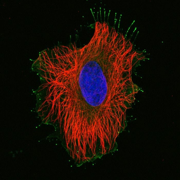 The Function Of Microtubules: Plant And Animal Cells ...