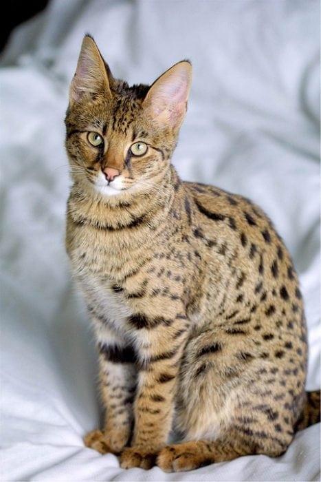 Savannah cat. Image source: Pixabay.