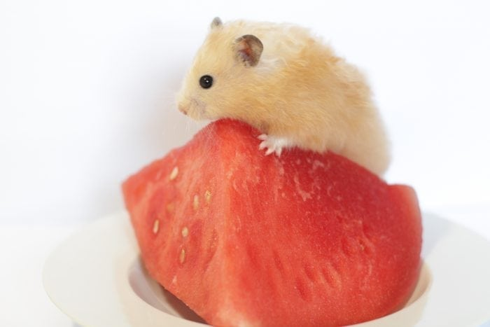 Teddy Bear Hamster Lifespan And Characteristics