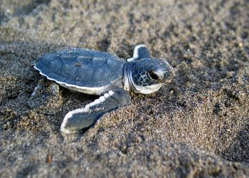 """Baby Sea Turtle"" by Wildlifeppl at en.wikipedia is licensed under the  Creative Commons Attribution 3.0 Unported license"