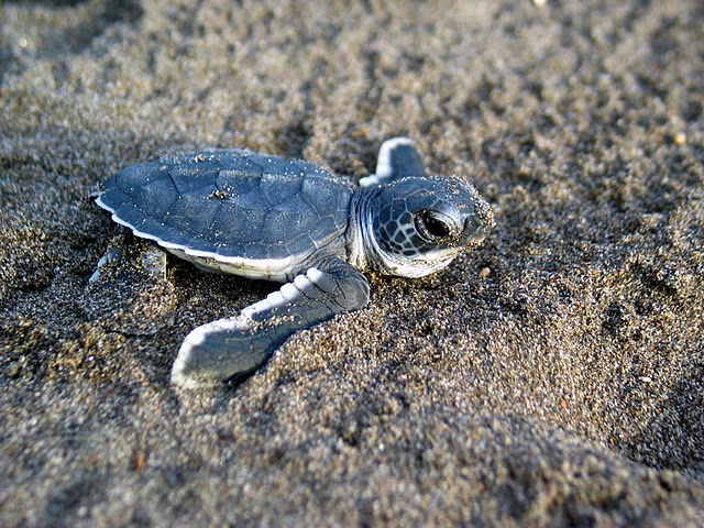 """""""Baby Sea Turtle"""" by Wildlifeppl at en.wikipedia is licensed under the  Creative Commons Attribution 3.0 Unported license"""