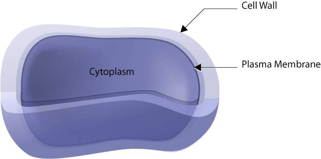 cell wall function science trends