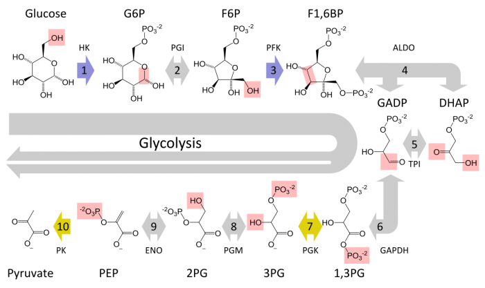 Aerobic Cellular Respiration Definition And Steps Science Trends