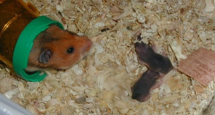Teddy Bear Hamster: Lifespan And Characteristics