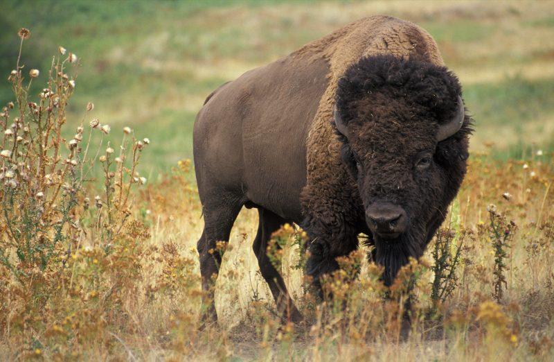 American bison. Credit: Wikipedia