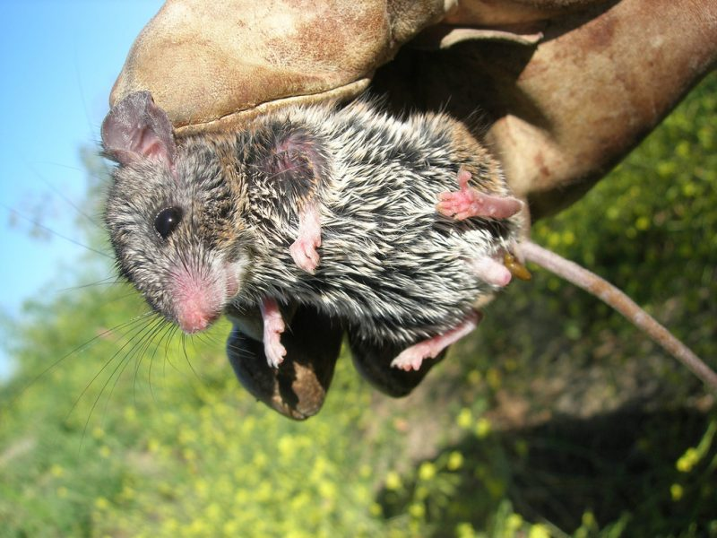 """""""parasitic mouse, a.k.a. California mouse (Peromyscus californicus)"""" by Joe Decruyenaere via Flickr is licensed under CC BY-SA 2.0"""