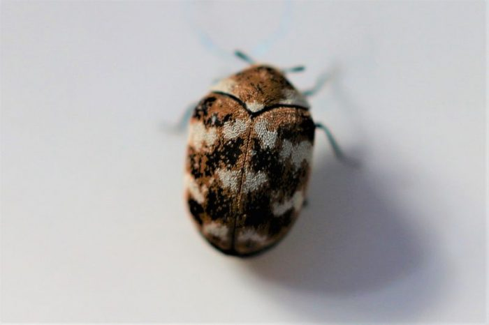 What Is A Carpet Beetle Bug Science Trends