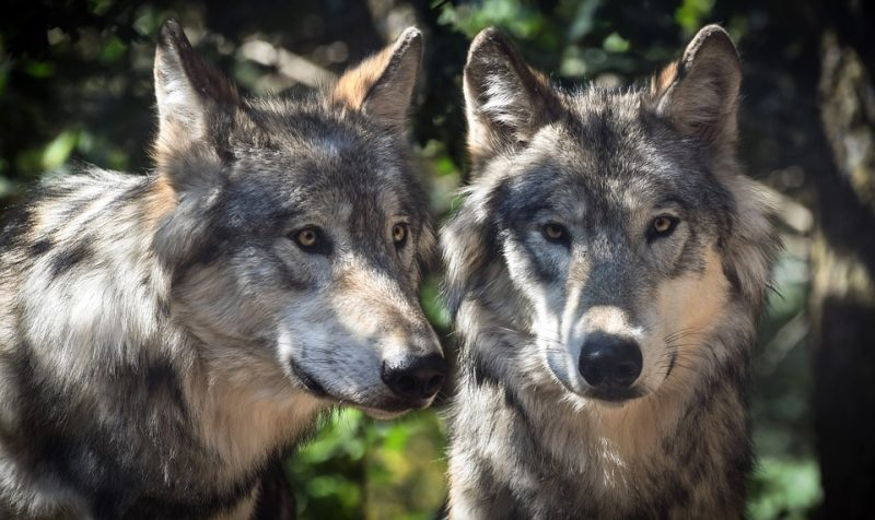 Reintroduction Of Wolves May Have Helped Yellowstone National Park's Ecosystem Recover