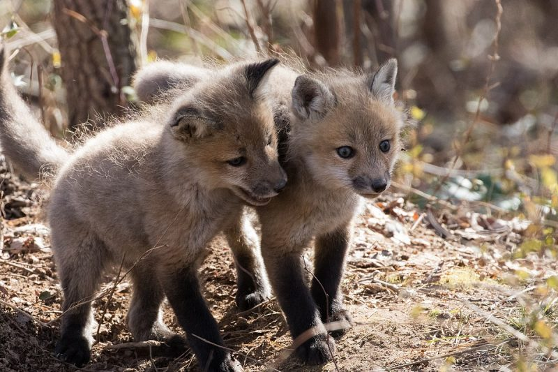 What Is A Baby Fox Called: Name And Pictures | Science Trends