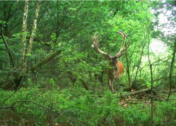 Red deer in the Netherlands. Photo credit: Juan Ignacio Ramirez