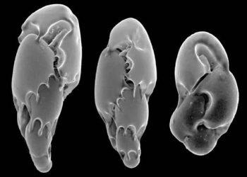 Electron micrograph of foraminifera. Credit: Wikipedia