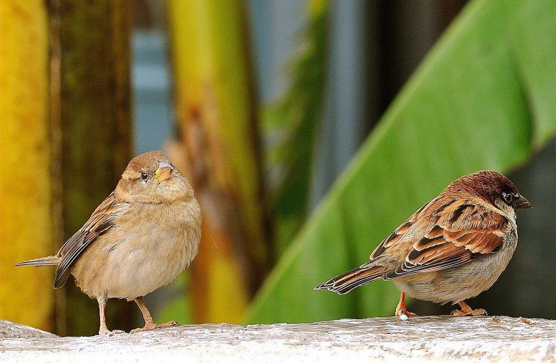 Italian sparrows. Credit: Wikimedia Commons