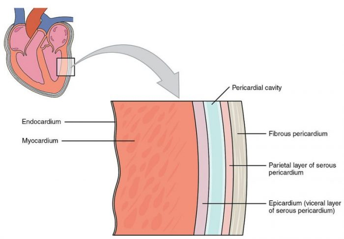 Human Heart Diagram Labeled   Science Trends