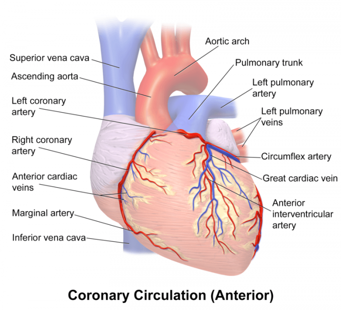 the circulatory system surrounding the heart  photo: by blausen medical  communications, inc  – donated via otrs, see ticket for details, cc by 3 0,