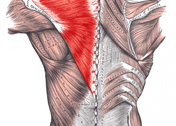 """Trapezius muscles. Photo: By Mikael Häggström.When using this image in external works, it may be cited as:Häggström, Mikael (2014). """"Medical gallery of Mikael Häggström 2014"""". WikiJournal of Medicine 1 (2). DOI:10.15347/wjm/2014.008. ISSN 2002-4436. Public Domain.orBy Mikael Häggström, used with permission. - Image:Gray409.png, Public Domain, https://commons.wikimedia.org/w/index.php?curid=2892631"""