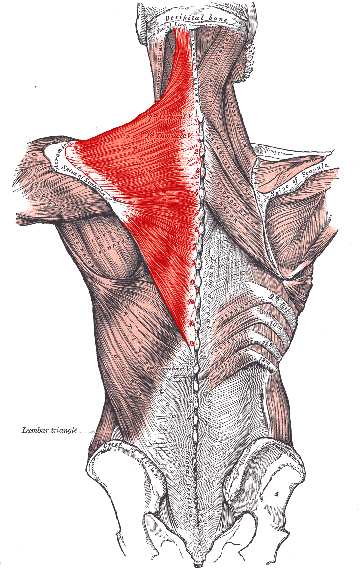 Back Muscles Names And Diagram Science Trends