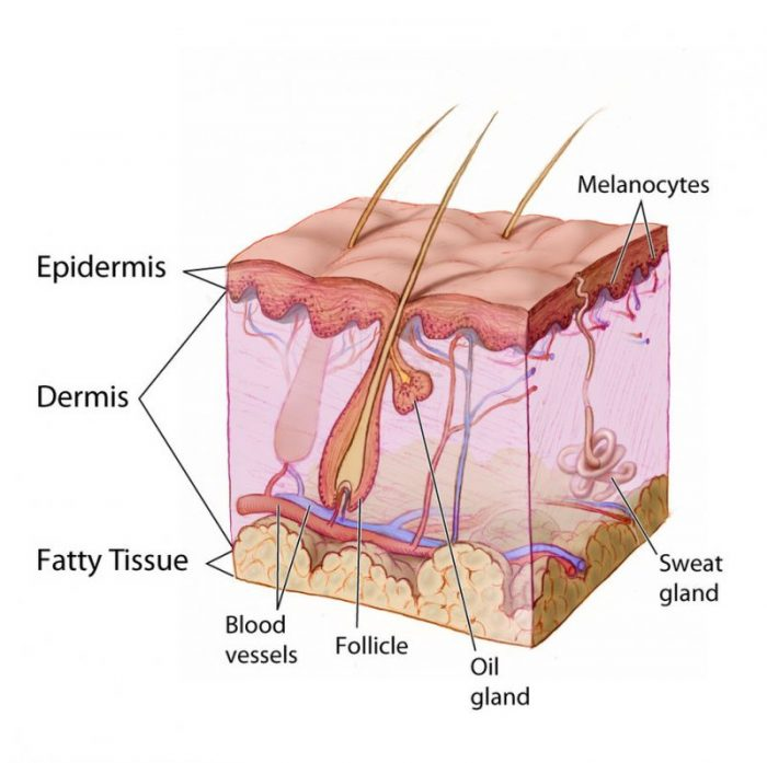 Integumentary System Function And Organs Science Trends