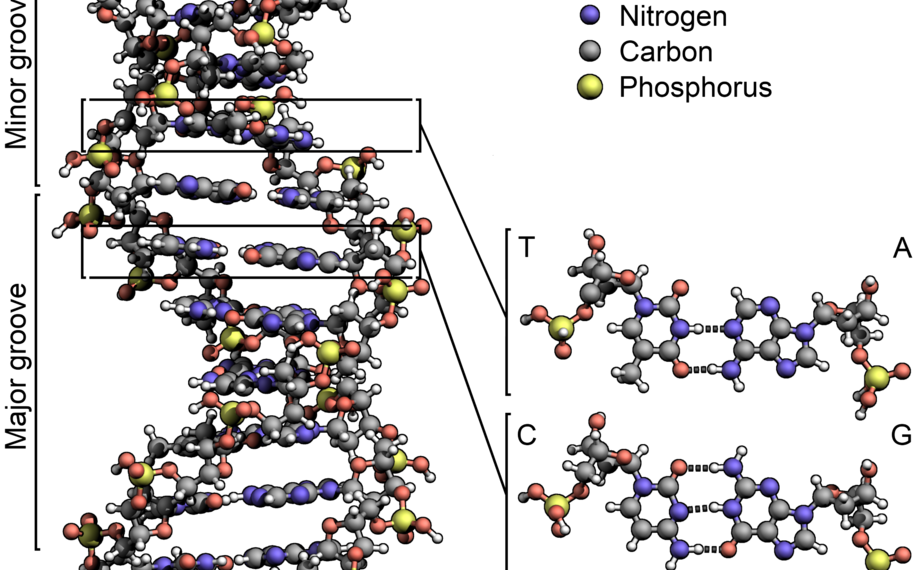"""Credit: """"DNA stucture"""" Zephyris via WikiCommons https://en.wikipedia.org/wiki/File:DNA_Structure%2BKey%2BLabelled.pn_NoBB.png CC BY-SA 3.0 https://creativecommons.org/licenses/by-sa/3.0/deed.en"""