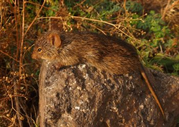 Fig: African rodents from genus Arvicanthis (picture by T. Aghová)