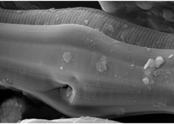 Micrograph (taken with a scanning electron microscope) of a pennate diatom frustule. Image courtesy Daniel Puppe.