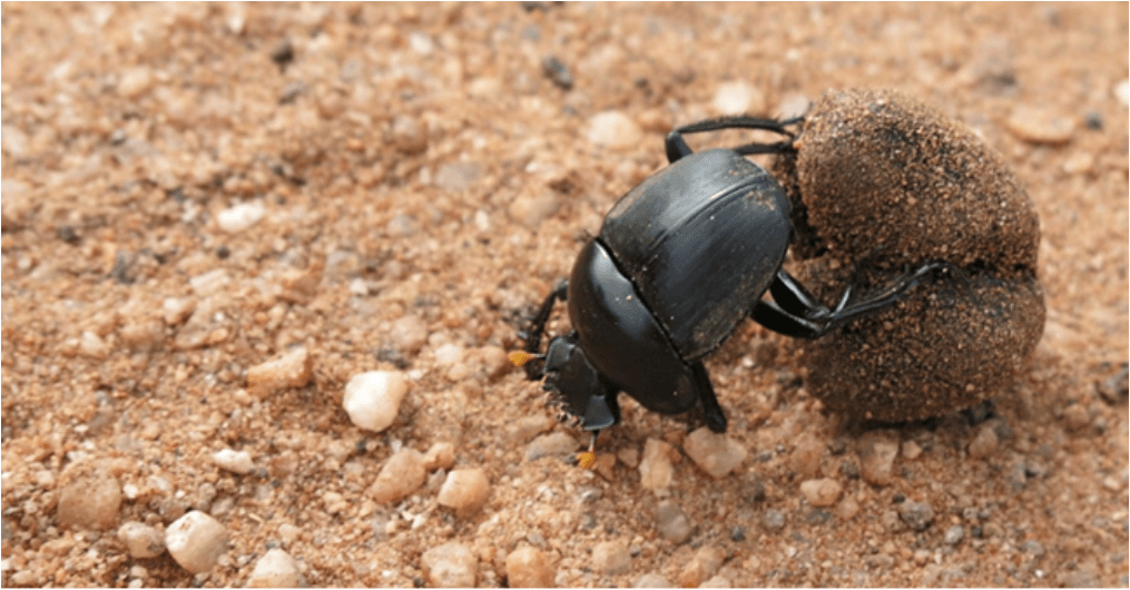 The telecoprid dung beetle Scarabaeus rusticus rolling a dung ball at a nature reserve in South Africa. Image courtesy Jessica Badenhorst.
