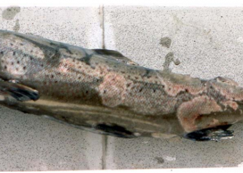 Figure 1. A seatrout infected with Saprolegnia parasitica. Picture credit: Velela via Wikipedia. Image is licensed under the  Creative Commons Attribution 3.0 Unported license.