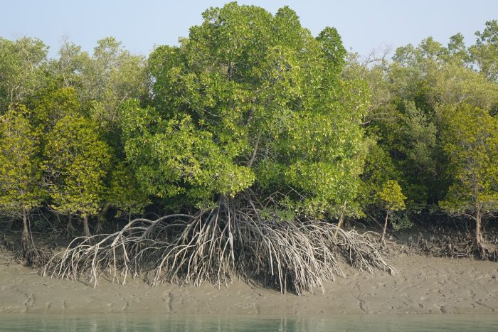 Mangrove-Bangladesh-Photo-Credit-Pritthijit-Kundu-700x467