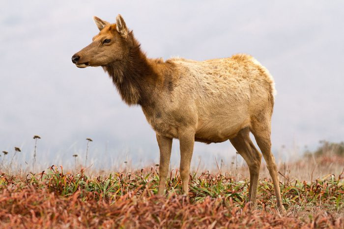 Behavioral Trials Of Farmed Elk Show Effects Of Group Feeding   Science Trends